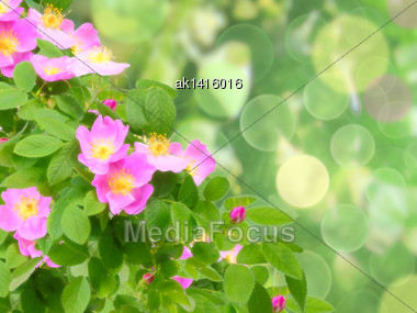Abstract Background With Soft-light Pink Dog-roses Flowers On Green Bokeh Backdrop. Close-up. Studio Photography Stock Photo