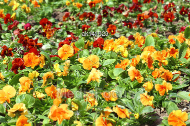 Background Of Field With Group Of Red And Orange Pansys On Sunlight Stock Photo