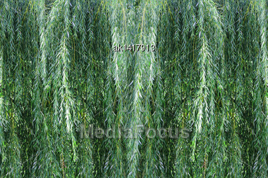 Background Of Green Branches A Willow Bushes. Outdoor Photography Stock Photo