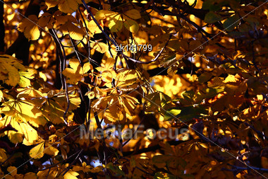 Background Of Yellow Leafs A Chestnut Bushes On Sunlight. Outdoor Photography Stock Photo