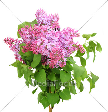 Beautiful Bouquet Of Lilac With Purple Flowers And Green Leafes. Isolated On White Background. Close-up. Studio Photography Stock Photo