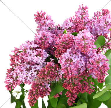 Beautiful Bouquet Of Lilac With Purple Flowers And Green Leafes As Design Frame. Isolated On White Background. Close-up. Studio Photography Stock Photo