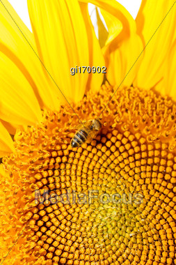 Bee On Sunflower. Flower Of Sunflower Close-up, Natural Background Stock Photo