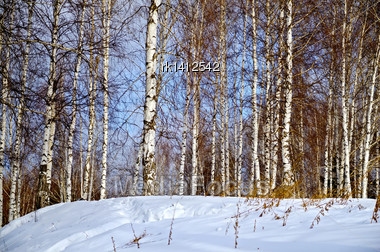 Birch In Forest Against The Background Of Snow, Blue Sky And White Clouds Stock Photo