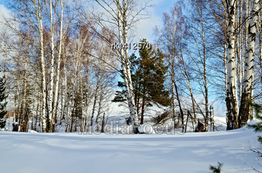 Birch And Pine In A Forest Against The Background Of Snow, Blue Sky And White Clouds Stock Photo