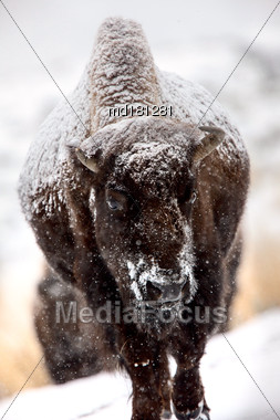 Bison Snow Storm Blizzard Cold Yellowstone USA Stock Photo