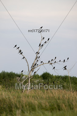 Blackbirds In A Tree Gather In Saskatchewan Canada Stock Photo