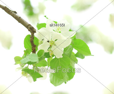 Blossoming Branch With Green Leafs And White Flowers Of Apple-tree On Light Of-focus Background. Close-up Stock Photo