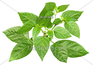 Blossoming Branch Of Pepper With Green Leaf. Isolated On White Background. Close-up. Studio Photography Stock Photo