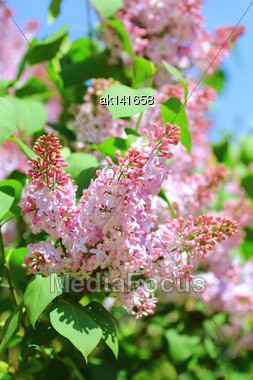 Blossoming Branch Of Pink Lilac On Of-focus Summer Background. Close-up Stock Photo
