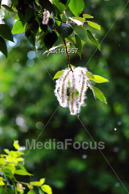 Blossoming Branch Of Poplar On Of-focus Summer Dark Background. Close-up Stock Photo