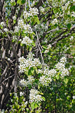 Blossoming Branch Of A Tree Shadberry On A Background Shadberry Trunk And Branches Stock Photo