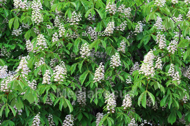 Blossoming Of Chestnut-tree With Green Leaf And White Flowers Background. Close-up Stock Photo