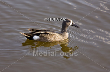 Blue Winged Teal Duck In A Prairie Pond Stock Photo
