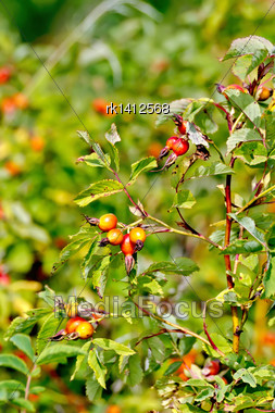 Branch With Red Berries Of Wild Rose On A Background Of Green Leaves Stock Photo