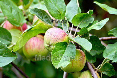 Branch With Red And Green Apples On A Background Of Green Foliage Stock Photo