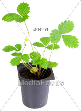 Branch Of Strawberry With Green Leaf In Flowerpot. Isolated On White Background. Close-up. Studio Photography Stock Photo