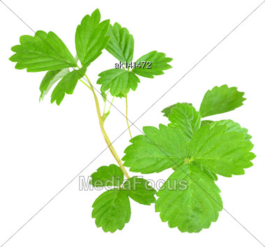 Branch Of Strawberry With Green Leaf. Isolated On White Background. Close-up. Studio Photography Stock Photo