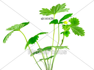 Branch Of Strawberry With Green Leaf And White Flower. Isolated On White Background. Close-up. Studio Photography Stock Photo