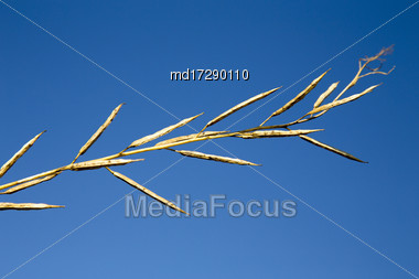 Brown Mustard Plant Against A Blue Sky Stock Photo