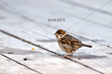 Brown Sparrow On A Background Of Gray Wooden Floor Stock Photo