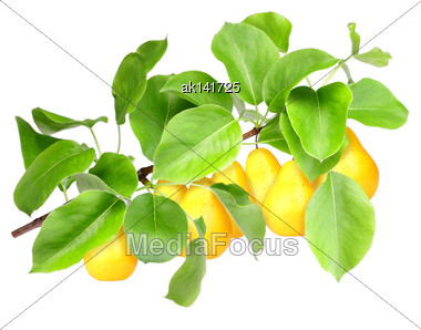 Bunch Of Fresh Yellow Pears On Branch With Green Leaf. Isolated On White Background. Close-up. Studio Photography Stock Photo