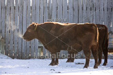 Cattle Winter Cold Breath Vapor In Saskatchewan Canada Stock Photo
