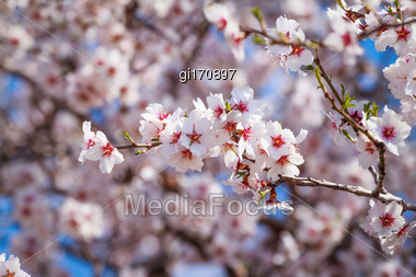 Cluster Of Pink Flowers Of Apricot Tree Against The Blue Sky Stock Photo