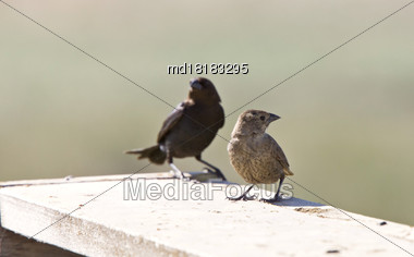 Cowbird Male And Female In Saskatchewan Canada Stock Photo