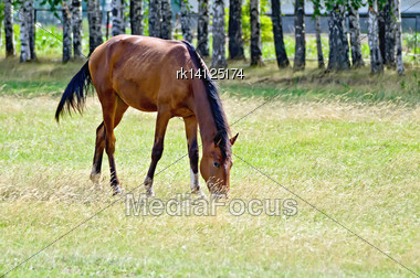 Curious Young Bay Horse Grazing In A Meadow On The Background Of Birch Trees Stock Photo