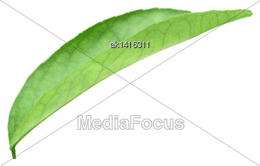 Curving A Green Leaf Of Citrus-tree. Isolated On White Background. Close-up. Studio Photography Stock Photo