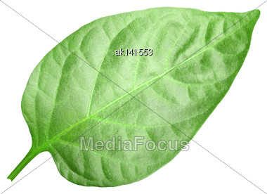Curving A Green Leaf Of Pepper. Isolated On White Background. Close-up. Studio Photography Stock Photo