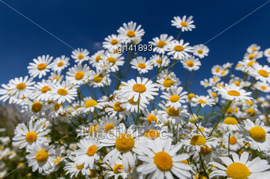 Daisies Closeup On Blue Sky Background Stock Photo