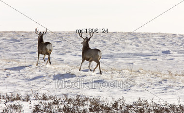 Deer Buck In Winter In Field Saskatchewan Canada Stock Photo