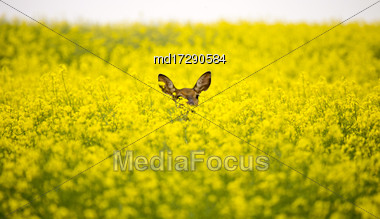 Deer In Canola Field Yellow Saskatchewan Canada Stock Photo
