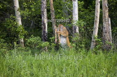 Deer Jumping Over Fence Countryside Prairie Scene Stock Photo