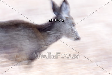 Deer In Motion Panned Blurred Movement Image Canada Stock Photo