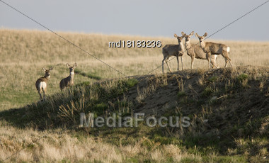Deer In Saskatchewan Prairie Pasture Land Canada Stock Photo