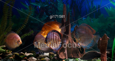 Discus - Symphysodon Close-up. Freshwater Fish Of The Amazon Stock Photo