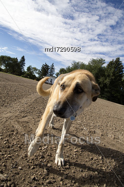 Farm Dog Canada Close Up Saskatchewan Rural Stock Photo