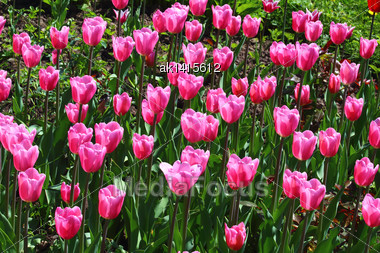 Field With Group Of Pink Tulips And Green Leafs On Sunlight Stock Photo
