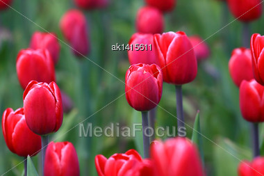 Field With Group Of Red Tulips And Green Leafs On Sunlight Stock Photo