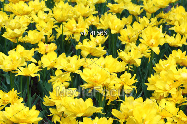 Field With Group Of Yellow Tulips And Green Leafs On Sunlight Stock Photo