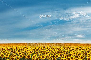 Field Of Sunflowers On A Background Of Blue Sky Stock Photo