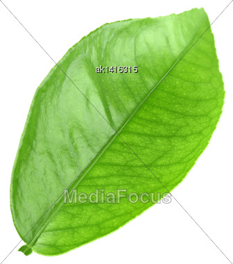Flat A Green Leaf Of Citrus-tree. Isolated On White Background. Close-up. Studio Photography Stock Photo