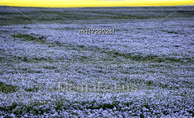 Flax Bloom Blue In Saskatchewan Canada Scenic Stock Photo