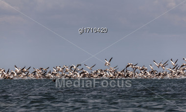 Flock Of Pink Pelicans Take Off From The Surface Of The Sea Stock Photo