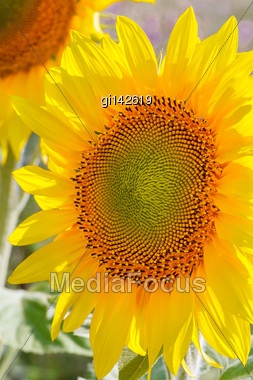 Flower Of Sunflower Close-up Stock Photo