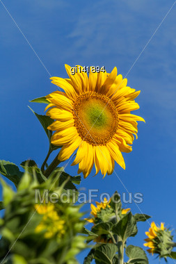 Flower Sunflower On A Background Of Blue Sky, Close-up Stock Photo