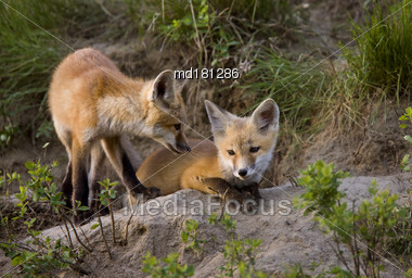 Fox Kits At Play Den In Saskatchewan Canada Stock Photo